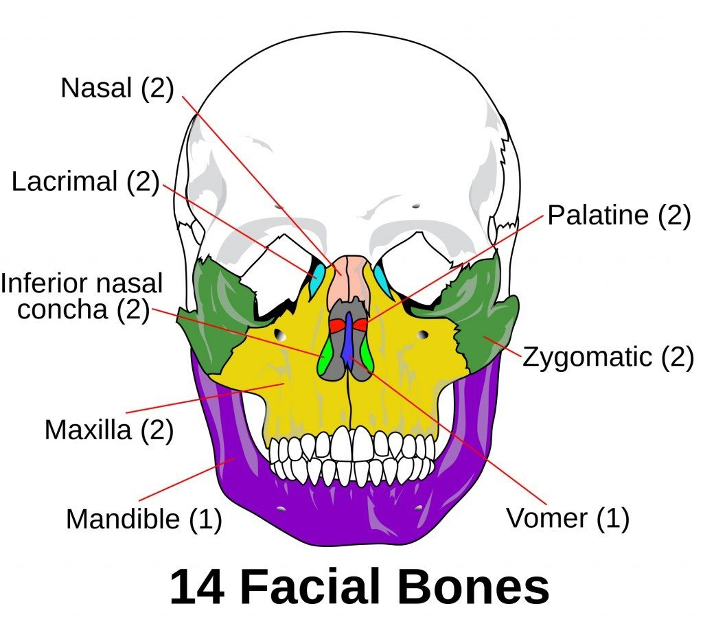 Facial skeleton