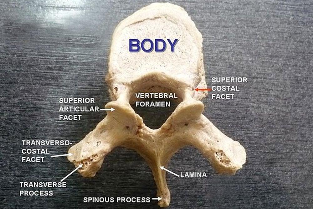 Thoracic vertebra