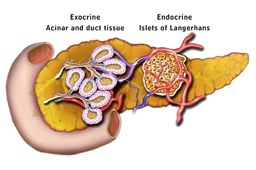 Endocrine vs Exocrine Gland: Defintion, Functions and ...