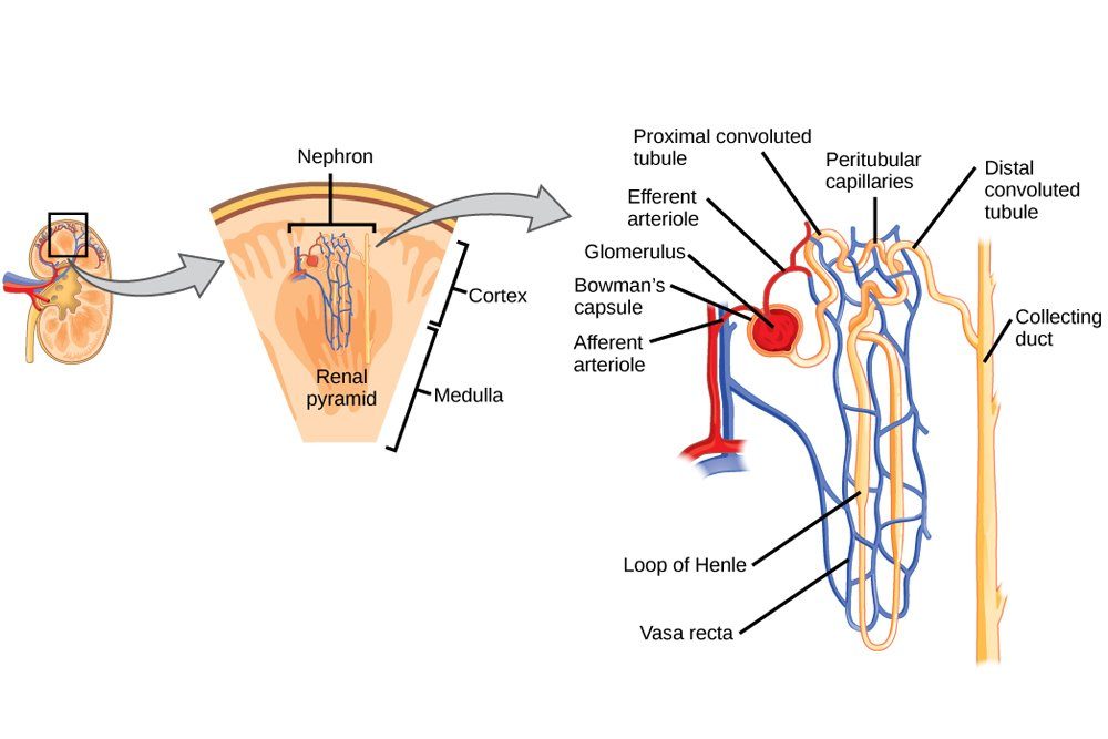 Excretory system organs function definition science abc nephron photo credit wikimedia commons ccuart Images