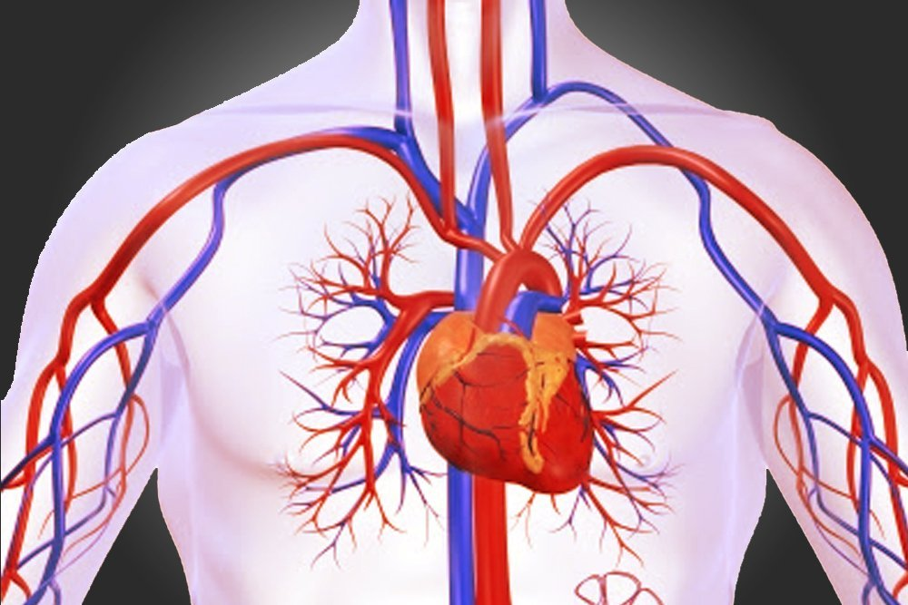 circulatory system definition, diagram and functioning Human Respiratory System Diagram