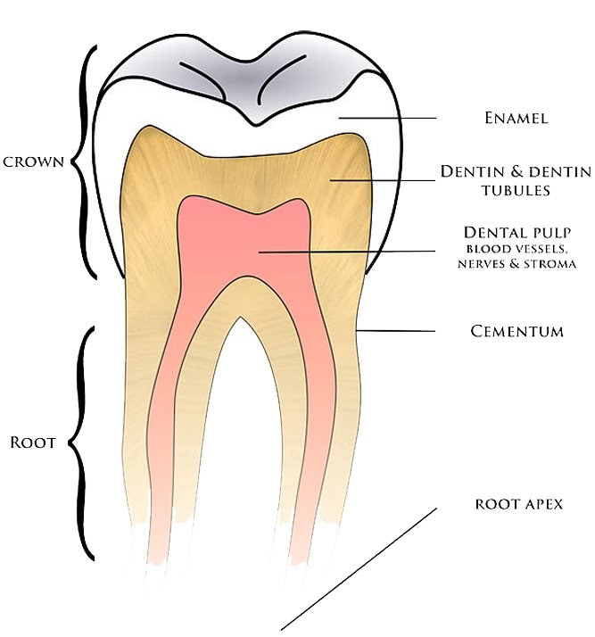 Basic anatomy tooth