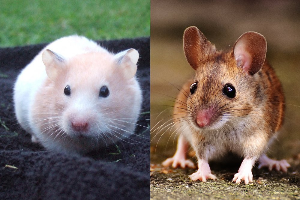 brown mice and white mice