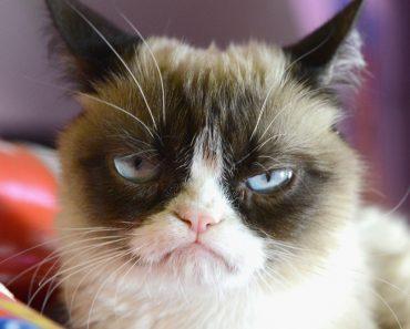 grumpy cat, annoyed cat