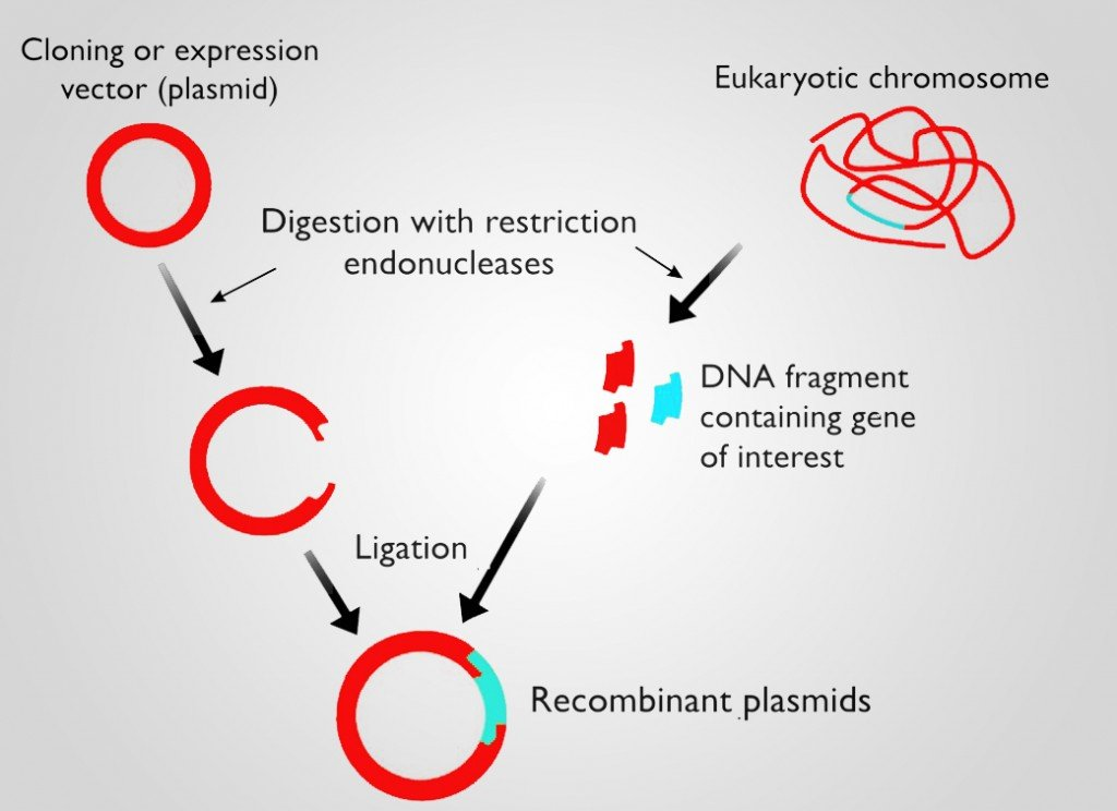 it is necessary to mention here that it is not enough that the host takes  up the recombinant dna  it also needs to incorporate it and express it