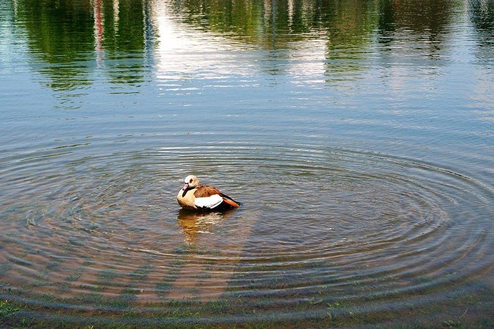 ripple on pond, water circle, duck, pond