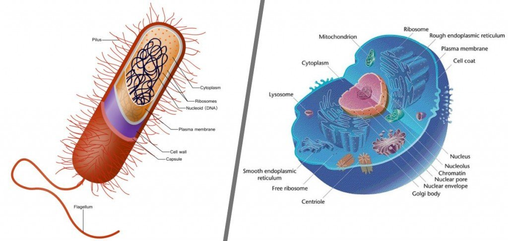 what is the difference between eukaryotic and prokaryotic