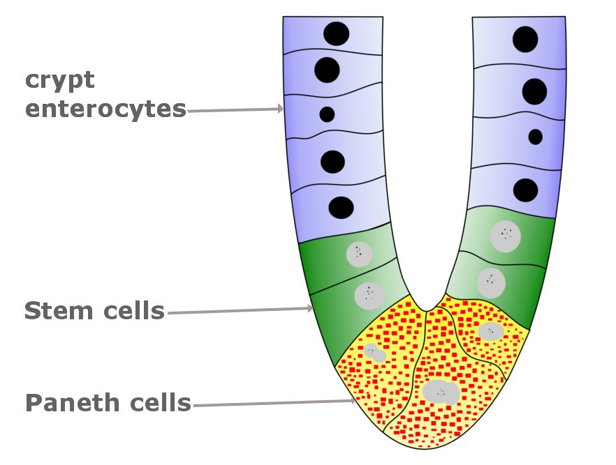 Paneth Cells  Definition  Functions And Role In The