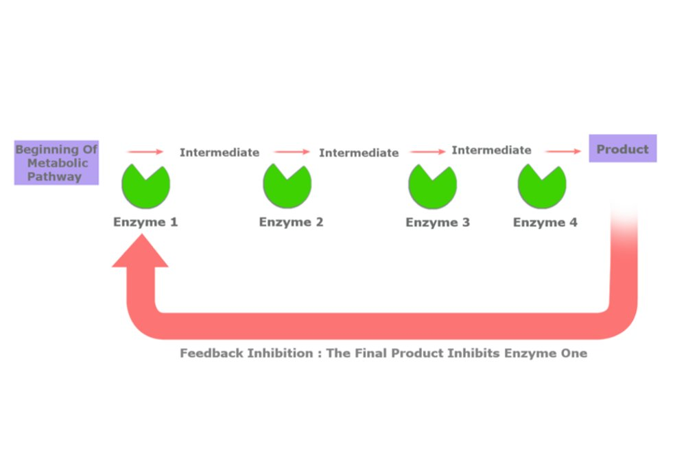 enzymatic diagram of glycolysis feedback inhibition definition  example and a brief explanation  feedback inhibition definition