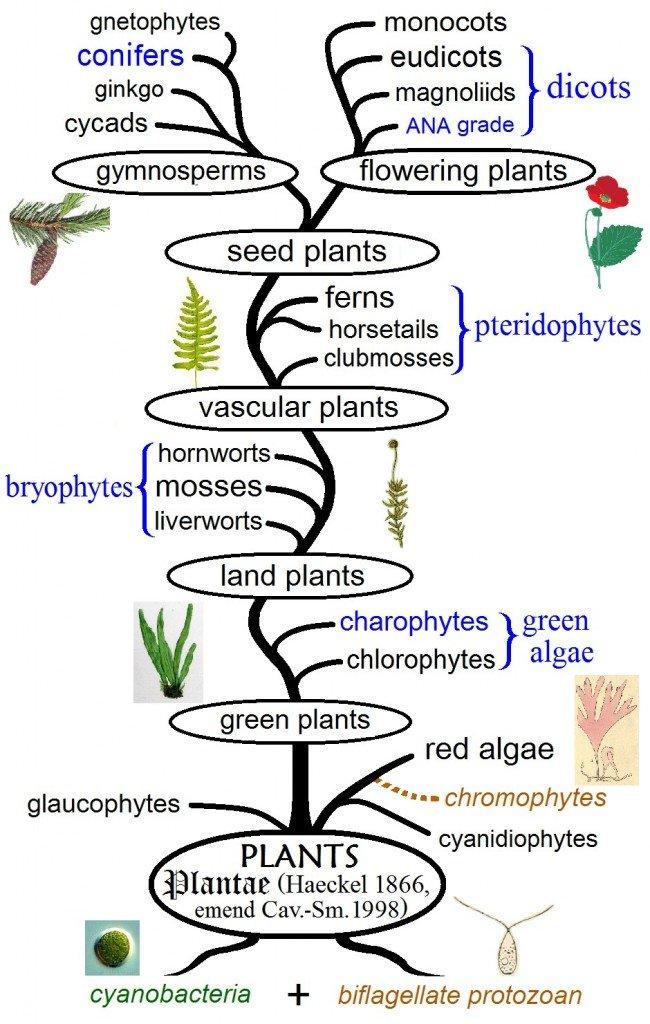 Plant phylogeny