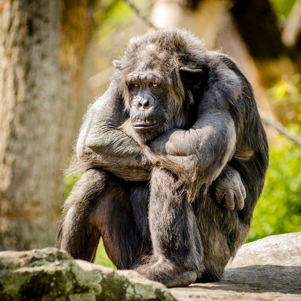monkey, chimpanzee