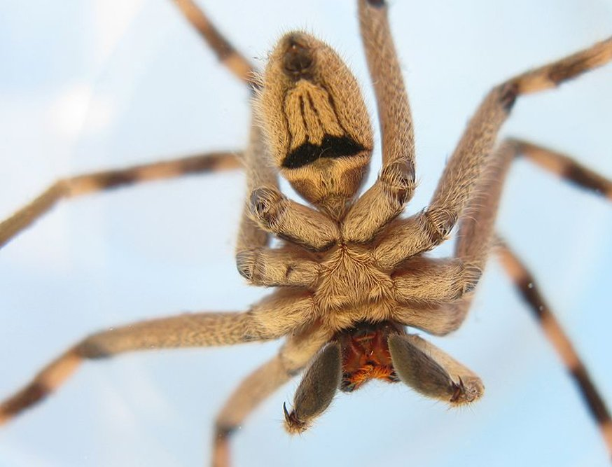 Sparassidae spider