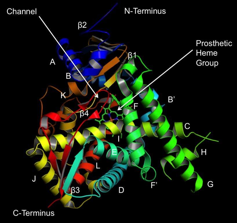 Structure of lanosterol 14 α demethylase (CYP51)