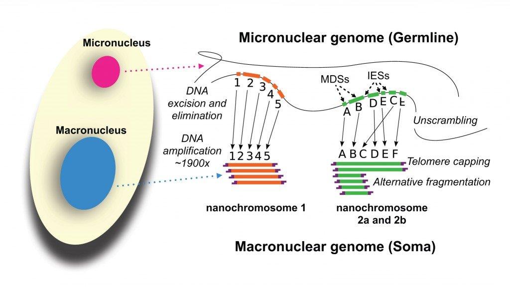 Development_of_the_Oxytricha_macronuclear_genome
