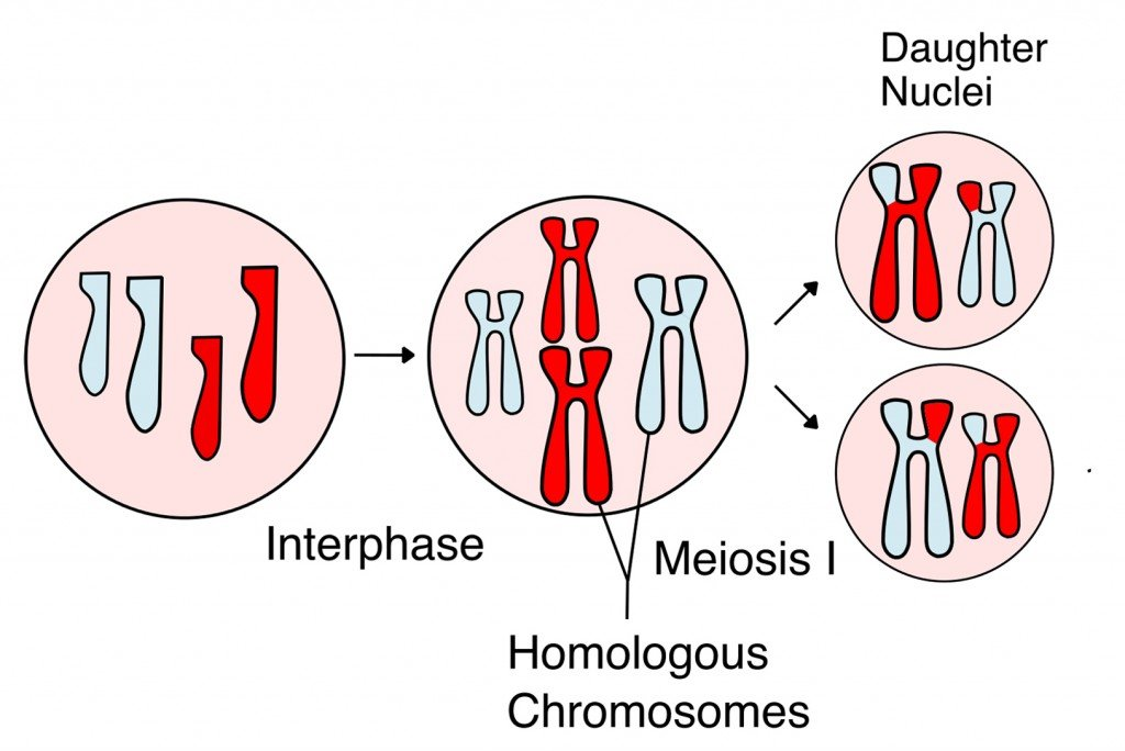 Meiosis Overview new