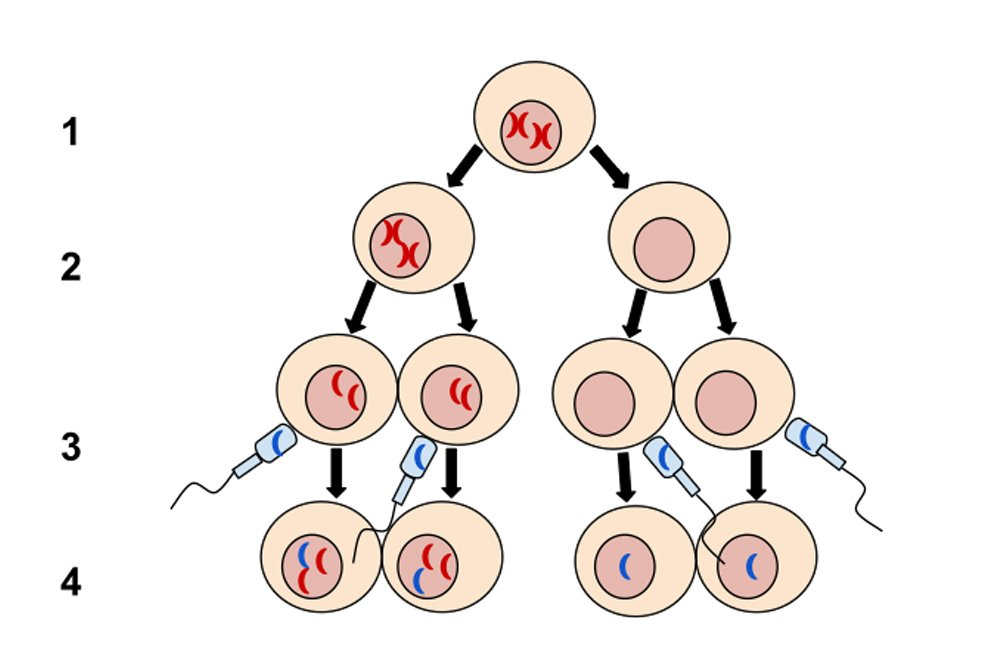 Nondisjunction in Meiosis I1