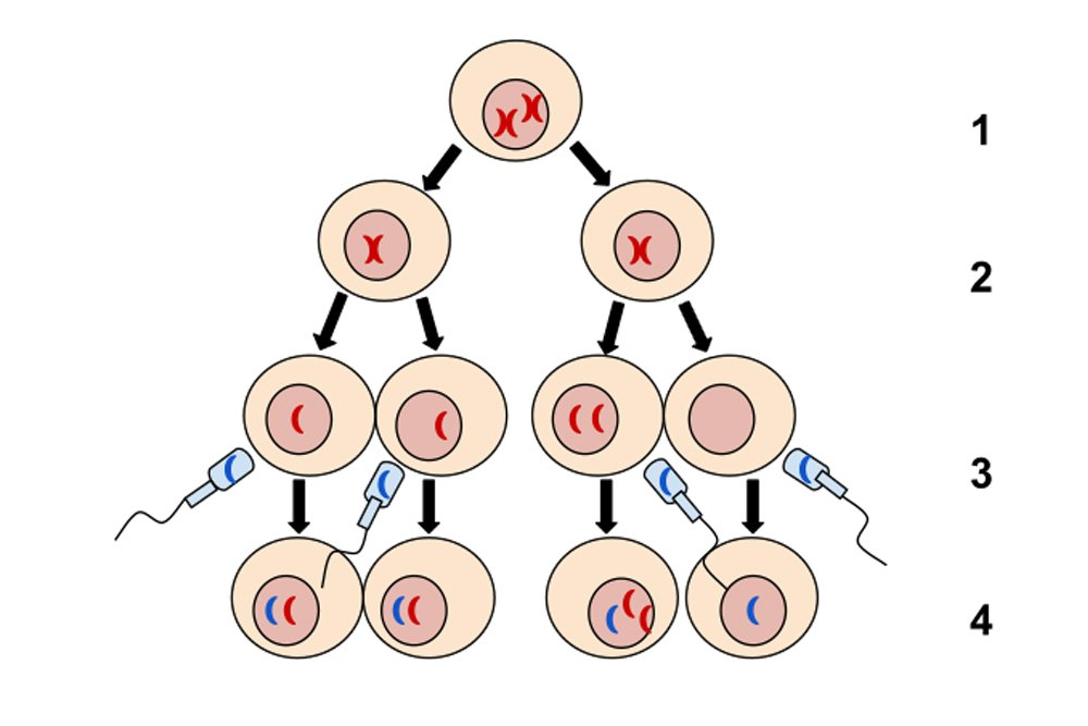 Nondisjunction in Meiosis II