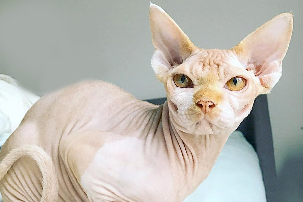 Sphynx Cat: 5 Interesting Facts About This Exotic Hairless Cat
