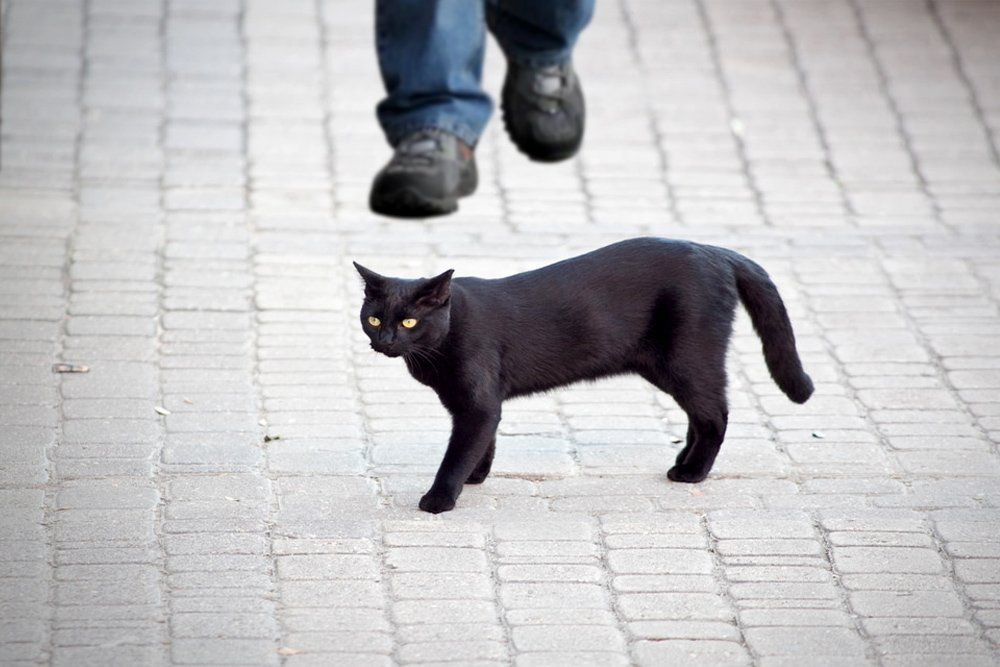 Black Cat Superstition: Does a Black Cat Crossing Path Influence ...