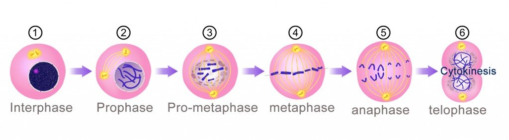 cell division phase