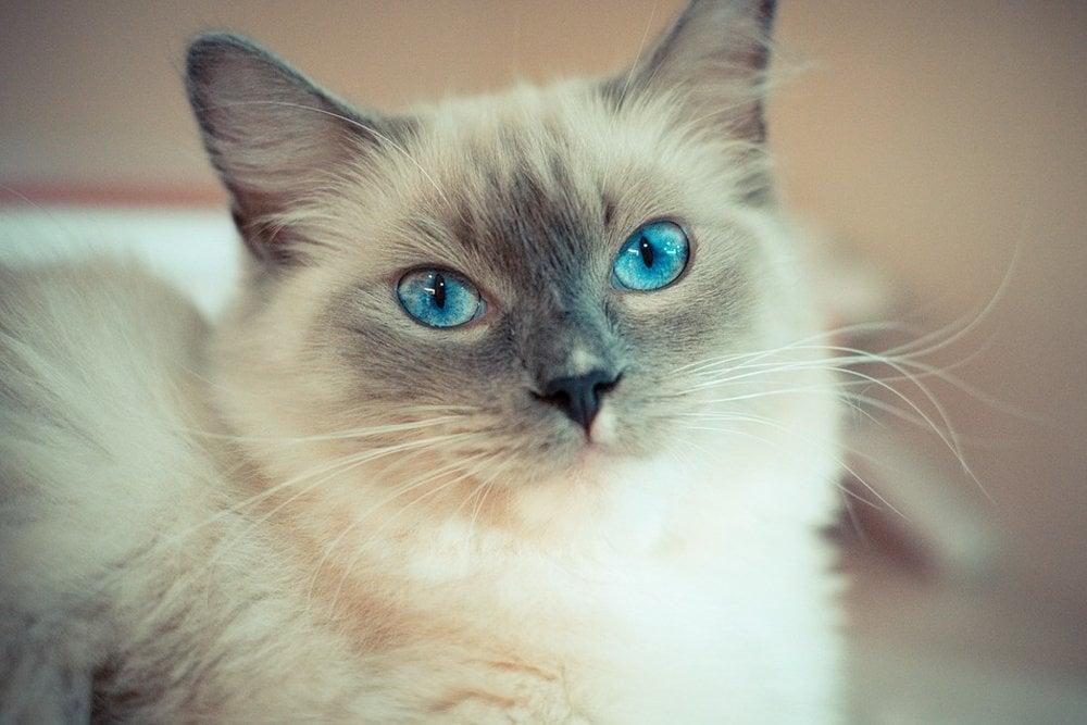 ragdoll cute cat