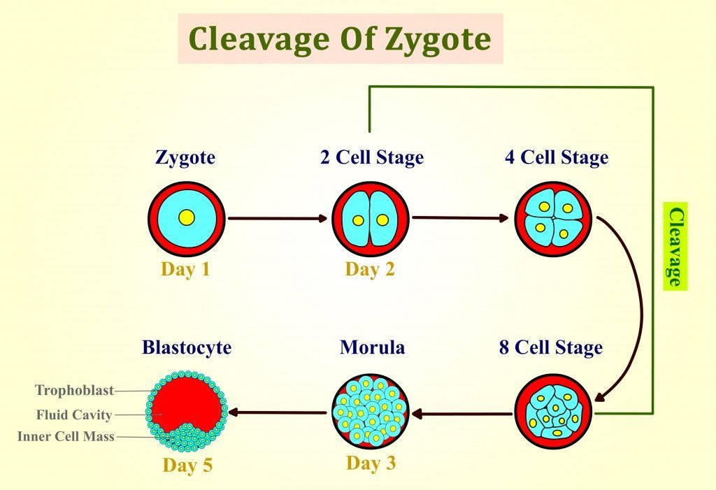 What Is A Zygote? How Is It Different From An Embryo? » Science ABC