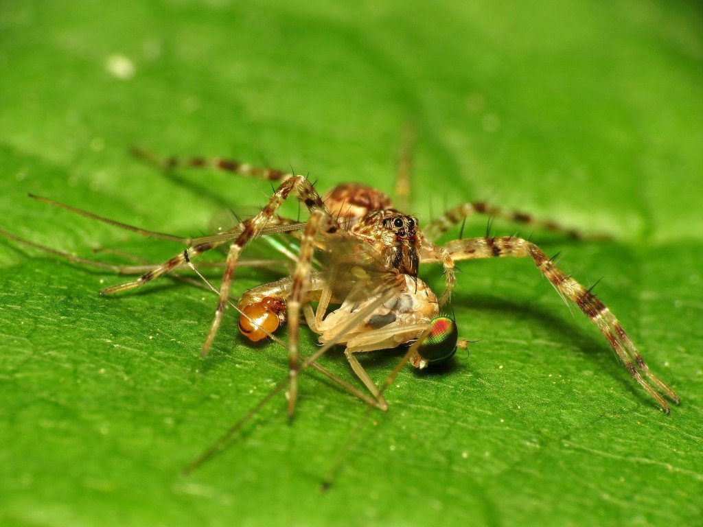 Spider preying on insect