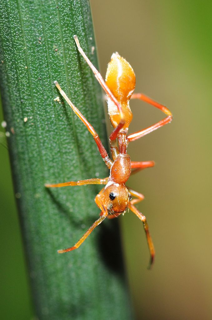 Kerengga_Ant-like_Jumper_(Myrmarachne_plataleoides),_female_(8406049304)