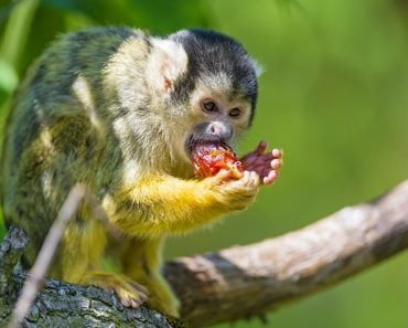 squirrel monkey eating red fruit