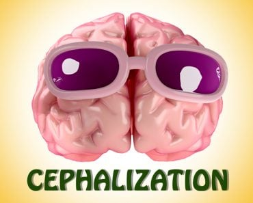 Cephalization, brain