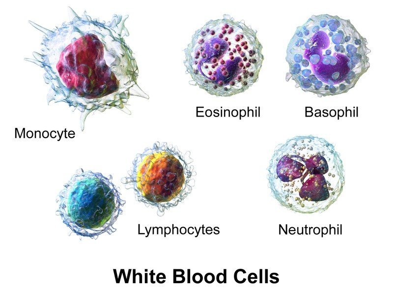type of white blood cells