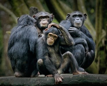 Chimpanzee consists of two extant species common chimpanzee and bonobo. Bonobos and common chimpanzees are the only species of great apes that are currently restricted in their range to Africa ( Ari Wid)s