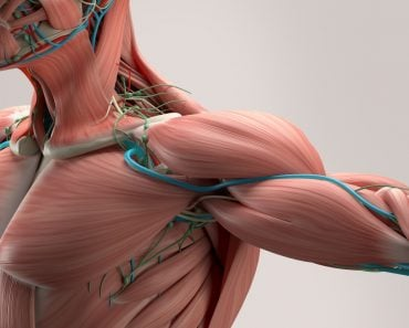 Human anatomy detail of shoulder Muscle arteries on plain studio background Professional lighting Illustration