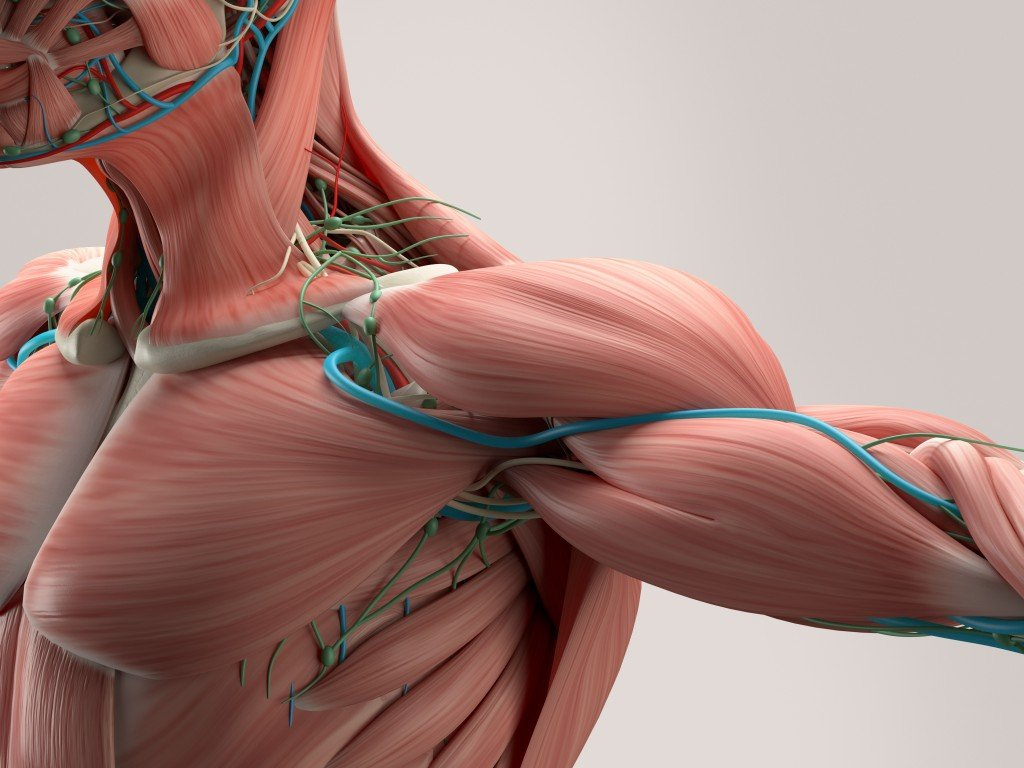 Human Body Muscles: Functions, Classification and Significance