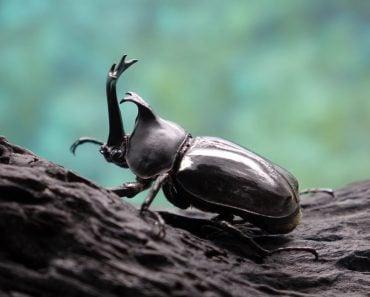 Beetles Insects Bugs Japanese rhinoceros beetle (Allomyrina dichotoma) or Japanese horn beetle (or Kabutomushi, Kabuto is Japanese for Samuai hemlet, and Mushi is Insect) in nature - Image( Mark Brandon)s