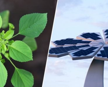 Arranging solar panels in a phyllotactic pattern improves their efficiency