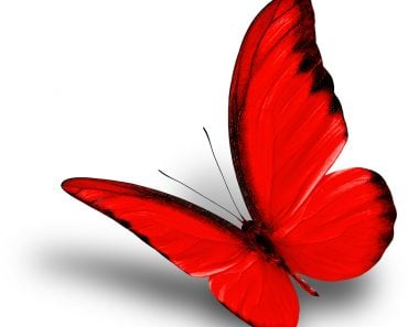 Beautiful flying red butterfly on white background with soft shadow, chocolate albatross butterfly in fancy color profile - Image( Super Prin)S
