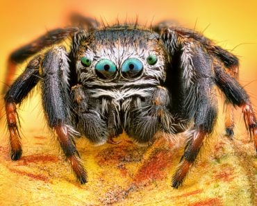 Extreme sharp and detailed portrait of polish jumping spider macro - Image(Sebastian Janicki)s