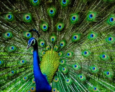 Indian Male Peacock - Image(Kandarp)s