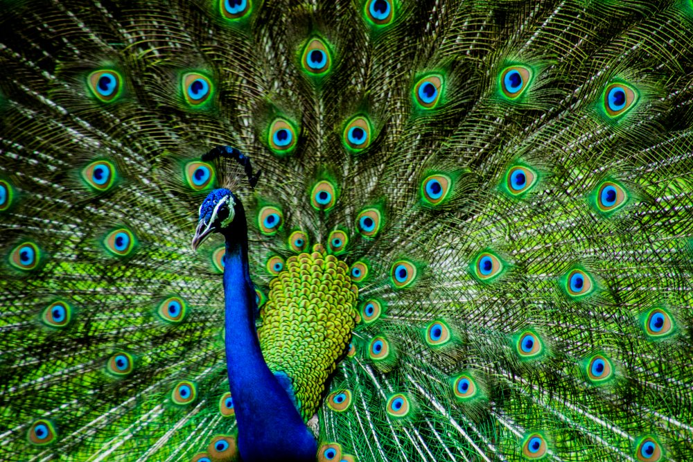 Can Peacocks Fly? » Science ABC