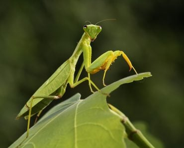 Mantis from family Sphondromantis (probably Spondromantis viridis) lurking on the green leaf - Image( Karel Bartik)s