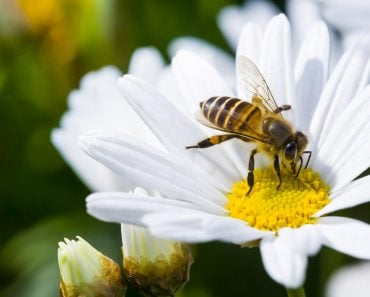 Spring single daisy flower and bee - Image( Jack Hong)s