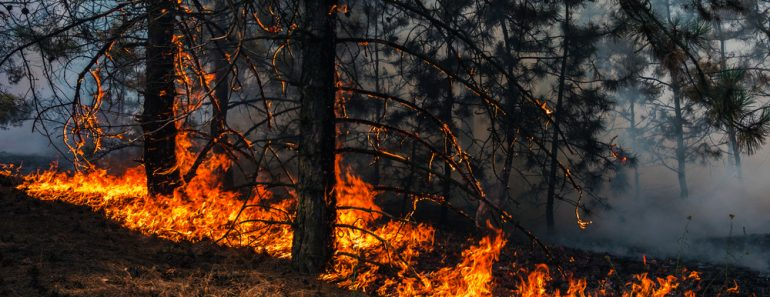 fire. wildfire, burning pine forest in the smoke and flames. - Image(Lumppini)s