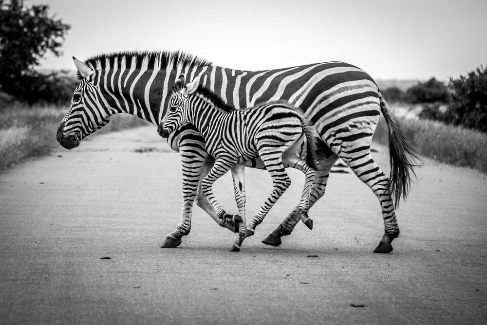 We Domesticated Horses, Then Why Not Zebras?