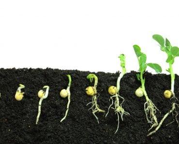 Germination pea sprout in soil - Image(Bogdan Wankowicz)s