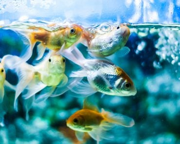 Gold fishes swimming in aquarium tank - Image(RobinsonThomas)s