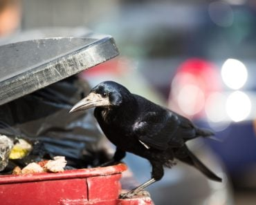 Raven feeding on rubbish in a city(l i g h t p o e t)s