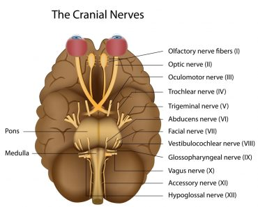 The 12 cranial nerves - Illustration(Alila Medical Media)s