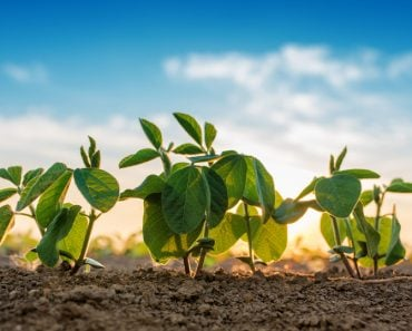 Small soybean plants growing in row in cultivated field(igorstevanovic)s