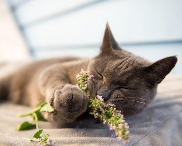 Gray Cat Enjoying Fresh Catnip Outside( Anna Hoychuk)s